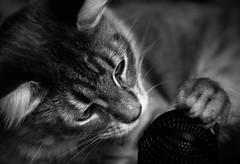 Happy Talent (Kenny Dong) Tags: blackandwhite bw music cats cat canon happy blackwhite kitten song tabby kittens sing microphone mic siberian musicalinstrument tabbycat siberianmix