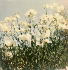many poppies (lawatt) Tags: flowers film poppy instant matilija slr680 blooming gen1 theimpossibleproject color600
