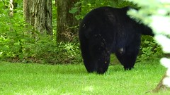Black Bear & her 3 cubs. (Jim Mullhaupt) Tags: bear animal cub mother ursusamericanus omnivorous mammal deepwood elktownship nature animals creatures summer alleghenyriver kinzua alleghenynationalforest vacation travel warrencounty warren outdoor boating fishing jimmullhaupt trees forest landscape wallpaper pennsylvania russell scandia redoak camping cabins video photo flickr geographic picture pictures camera snapshot photography nikoncoolpixp900 nikon coolpix p900 nikonp900 coolpixp900