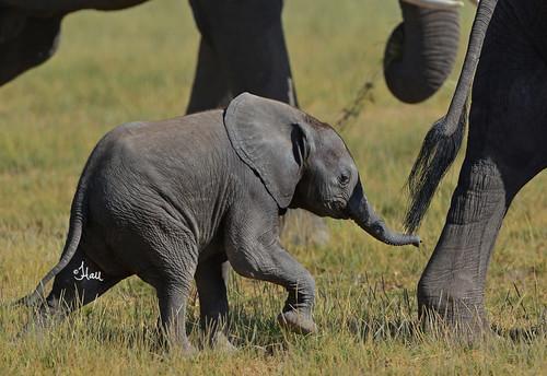 Tiny Elephant Calf Trying to Keep Up - 8159b+