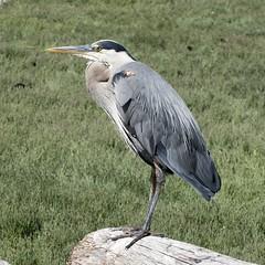 Great Blue Heron (David Badke) Tags: colwood bc bird