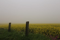 Rapeseed fields in fog (smitchelrific) Tags: yorkshire england morning foggy fog flower fields yellow rapeseed