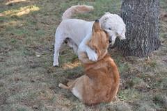 DSC_0283 (ghoulia) Tags: goldendoodle goldenretriever poodle labradoodle labrador rovercom dogvacay