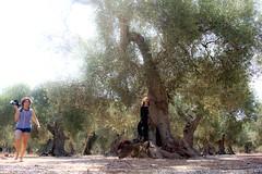 IMG_1754 (marco.alessio) Tags: albero ulivo olivo olio natura verde foto fotoreporter estate allaperto pianta