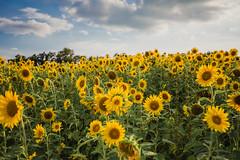 Fields of Gold II (ohgoodgracious) Tags: landscape naturephotography sunflower sunflowers yellow canon teamcanon dreamy lookslikefilm triberedleaf elmtair sussexcounty newjersey nj andersenfarmssunflowermaze flower flowers flora floral naturephotographers landscapes summerlandscape summerlandscapes