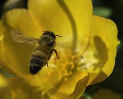 Bee_SAF3432 (sara97) Tags: bee copyright2016saraannefinke flyinginsect insect missouri nature outdoors photobysaraannefinke pollinator saintlouis towergrovepark urbanpark wildlife