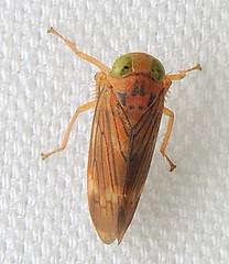 Leafhopper: Coelidia olitoria (Anita363) Tags: coelidiaolitoria coelidia coelidiinae cicadellidae cicadoidea auchenorrhyncha hemiptera insect fauna yard mercuryvaporlamp highlandpark nj newjersey august orange rust rusty
