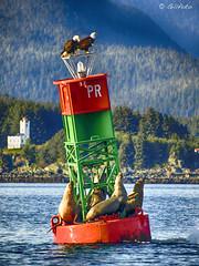 Eagles and Sealions on Poundstone Rock Buoy ( Gillfoto) Tags: eagles sealions buoy poundstone poundstonerock southeastalaska juneau sentinelislandlighthouse bald baldeagles