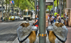 Like Looking In The Mirror (swong95765) Tags: animals canine dog dogs downtown expression look scene surprise