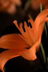 Elegance (Ptolemy the Cat) Tags: lilium lily bloom flower garden stamens petals blur bokeh orange nikond600 nikonf282470mmlens