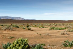Red Hartebeest grazing in a field in Tankwa Karoo (markdescande) Tags: africa wind dry natural cape nature dawn south background karoo road outside geology gannaga african sky environment valley stone path grass scenic landscape sunset tankwa twist rises fog eastern outdoor clouds arid desert dusk gravel sun blue ravine rock geological pass cloud sunrise mist wild park nobody misty national mountain