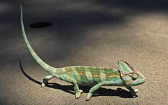 Veiled Chameleon (Ellsasha) Tags: veiledchameleon reptile greens exotic light