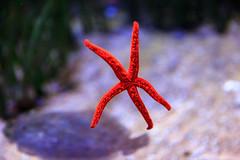 Oceanogrfic (Pablo Rodriguez M) Tags: valencia espaa spain acuario aquarium oceanogrfic starfish estrella