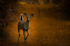 whitetail dream (skeem125) Tags: animals deer nature forest wildlife mammal whitetail trails