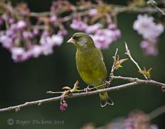 Greenfinch 13 (Roger Dickens) Tags: spring finch greenfinch westmidlands carduelischloris blossum gardenbird 14converter pentax300mm