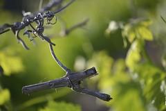 Saison passe (Michel Seguret Thks all for 8.200 000 views) Tags: france flower macro fleur vineyard flora nikon mediterranean vine blume grape vigne flore d800 herault grappe poussan mediterranen afs105 michelseguret