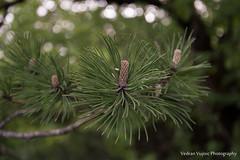 Pine in mountain (Vujisic Photo) Tags: mountain pine photo montenegro mne kolasin vujisic