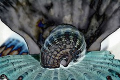 Conchiglie - Shells (tiziano.parmeggiani) Tags: shells shell processing photoediting conchas conchiglie conchiglia coquilles coquille tratamiento schale fotoritocco muscheln tiziano traitement elaborazione cáscara verarbeitung fotobearbeitung retouchephoto parmeggiani edicióndefotos