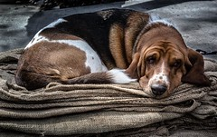 Let Sleeping Dogs Lie (evanffitzer) Tags: sleeping dog photography photographer sleep dream hound basset snooze snore wrinkles burlap canoneos60d evanffitzer evanfitzer 1740mmcanonlseries