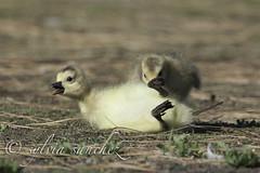 Chick's at play, canada geese (tahitihut) Tags: ca canada geese chicks csylviasanchez