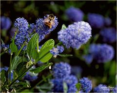Honey bee happy happy (marneejill) Tags: california blue sunlight bush bee lilac honey blooming