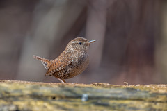 Winter Wren (Joe Branco) Tags: green nature nikon wildlife lightroom songbirds naturephotography winterwren joebrancophotography lightroomcc2015 photoshopcc2015