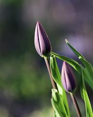 Tulip bokeh (hz536n/George Thomas) Tags: copyright flower canon spring flora bokeh michigan may tulip canon5d prescott tulipa cs5 ef300mmf4lisusm
