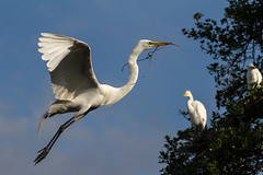bringing it home (fins'n'feathers) Tags: birds animals florida wildlife egret staugustine greategret rookery nesting nests alligatorfarm