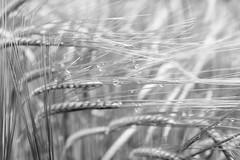 after the rain (f/.M) Tags: blackandwhite texture monochrome grass rain drops dof grain fujifilm schwarzweiss regentropfen getreide x100t