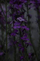 Mauve Erysimum - May 2016 (GOR44Photographic@Gmail.com) Tags: flower macro canon purple mauve erysimum 100mmf28 canon100mm 60d gor44