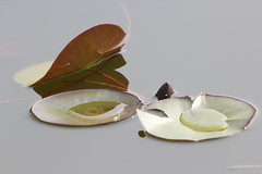 stilleven (willemsknol) Tags: arboretum het op assen vijver waterlelie