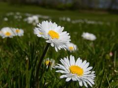 (Landanna) Tags: nature daisies natur natuur madeliefjes