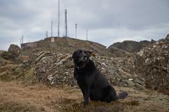 4mai_Thorbjorn_083 (Stefn H. Kristinsson) Tags: dog mountain dogs iceland spring hiking may ma vor hundur sland ganga fjallganga tamron2875mm grindavk hundar grindavik orbjrn nikond800 thornbjorn orbjarnarfell