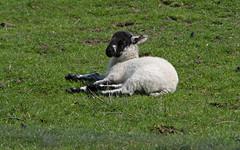 Edale Lamb (Mike Serigrapher) Tags: sheep district derbyshire peak lamb edale