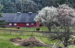 Red Barn, Horses and Cherry Trees - Vancouver Island, British Columbia, Canada (Toad Hollow Photography) Tags: red horse canada beautiful field barn rural landscape bc britishcolumbia farm peaceful vancouverisland pasture hdr cherrytree bucolic