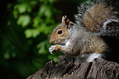 Out for lunch (Daggormet) Tags: wild nature animal fauna lunch furry nikon squirrel natural eating wildlife snacking bushy cosmeston cosmestonlakes nikond5200
