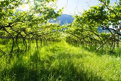 (c) Wolfgang Pfleger-6995 (wolfgangp_vienna) Tags: italien italy green del vineyard strada vine vineyards grn vino sdtirol wein altoadige weinstock eppan weinstrasse weingarten kaltern missian stradadelvino kalterersee weinstrase weinterrasse