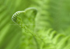 At the heart of the matter (dog ma) Tags: fern green nikon fiddlehead nikkor dogma 105mm d700 jodytrappephotography