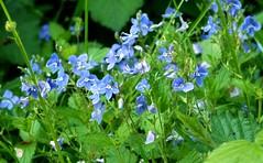 2016-05-19 secret wood (32)vroniques (april-mo) Tags: flowers blue fleurs veronica wildflowers springflowers buttercups boutonsdor vronques