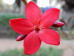 DSCN2923 (amit_gaur) Tags: red flower macro closeup nikon amit gaur s9900