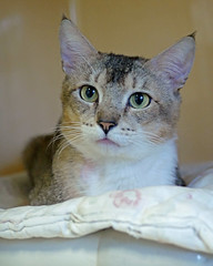 Chase_01 (AbbyB.) Tags: rescue pet cat newjersey feline shelter adopt adoptable shelterpet petphotography easthanovernj mtpleasantanimalshelter