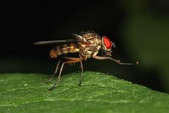 Anthomyiidae sp.  (Root-maggot Fly) (Nick Dean1) Tags: insect arthropoda arthropod hexapod insecta hexapoda