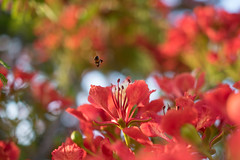 Flame flower (xhowardlee) Tags: flamboyant green red poinciana scarlet trees extravagant flowers royal delonix lush nature regia feathery plants leaves flame tree bright tropical blossoms nikon 28mm f18 bee
