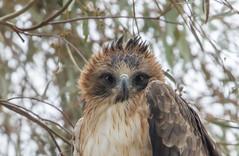 little eagle (Hieraaetus morphnoides)-8760-2 (rawshorty) Tags: birds australia canberra act jerrabomberrawetlands rawshorty
