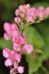 cadena de amor (CORAL VINE) (DOLCEVITALUX) Tags: flowers flower fauna flora philippines coralvine medicinalplants cadenadeamor