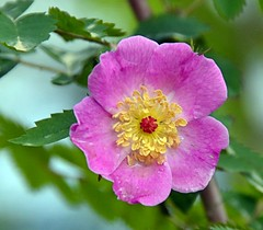 Wild Rose Blossom (Pat's Pics36) Tags: canada flower rose bc britishcolumbia wildrose stives shuswaplake pinkandyellow nikond7000 nikkor18to200mmvrlens