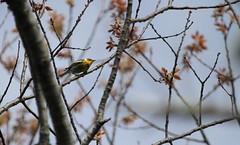 Cape May Warbler (jd.willson) Tags: nature birds bay wildlife birding maine may cape jd warbler penobscot willson islesboro
