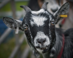 Only Kidding! (Alan10eden) Tags: show portrait baby animal canon 50mm eyes focus head farm f14 sigma goat kidd agriculture 70d alanhopps armaghshow2016
