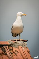 20160604 - Lago Maggiore (LOW) 23 (DAVIDE SPAGNA SPD) Tags: lake bird lago nikon seagull natura d750 maggiore davide gabbiano spagna tamaron 150600mm