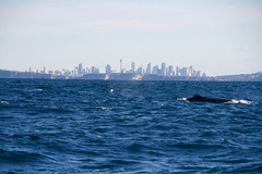 Whale with Sydney backdrop (IAGD+P) Tags: manly sydney blowing whales humpbackwhales northernbeaches whaleseason